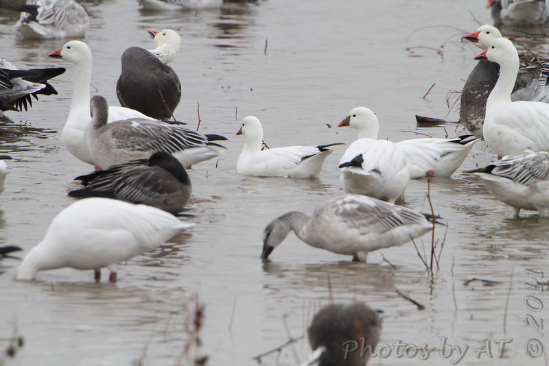 Ross's and Snow Geese <br /> Heron Pond <br /> Riverlands Migratory Bird Sanctuary