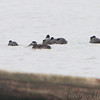 Surf Scoters <br /> and American Coot <br /> Ellis Bay <br /> Riverlands Migratory Bird Sanctuary