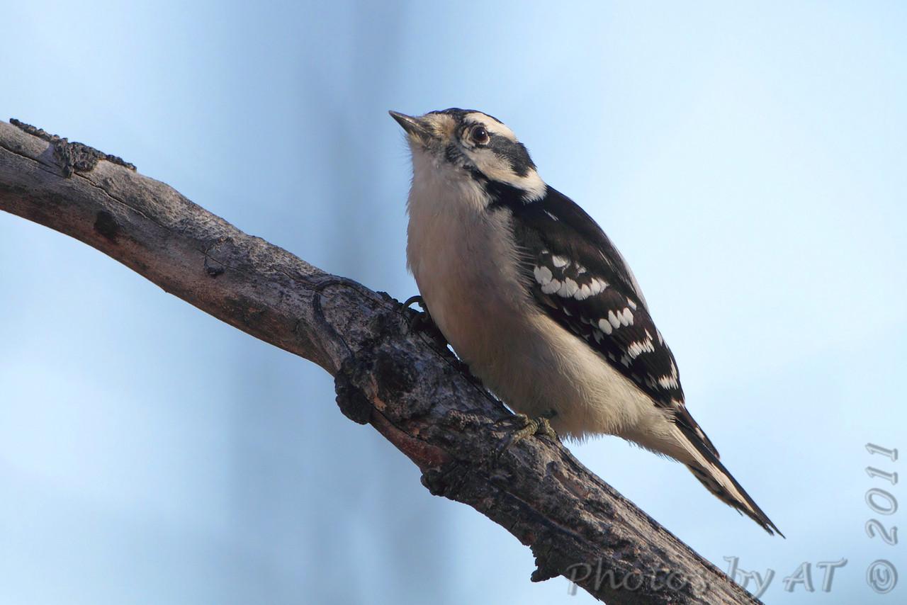 Downy Woodpecker <br /> Warren County