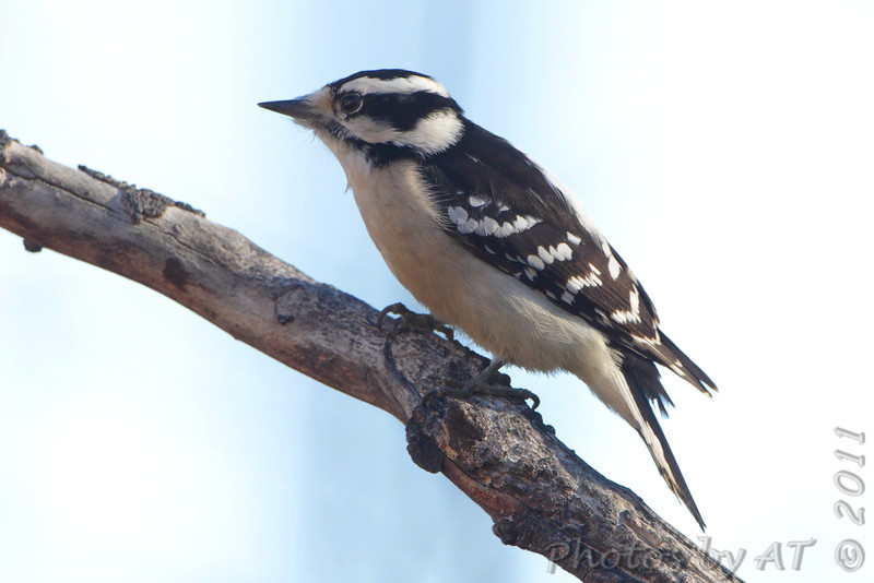 Downy Woodpecker <br /> Warren County