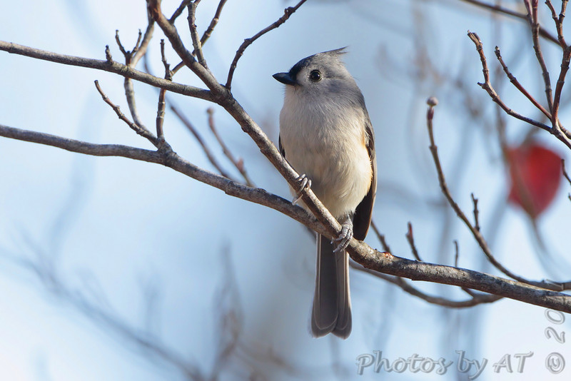 Tufted Titmouse <br /> Warren County