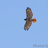 Red-tailed Hawk <br /> Natural Bridge Road <br /> just west of Fee Fee. <br /> Bridgeton, Mo.