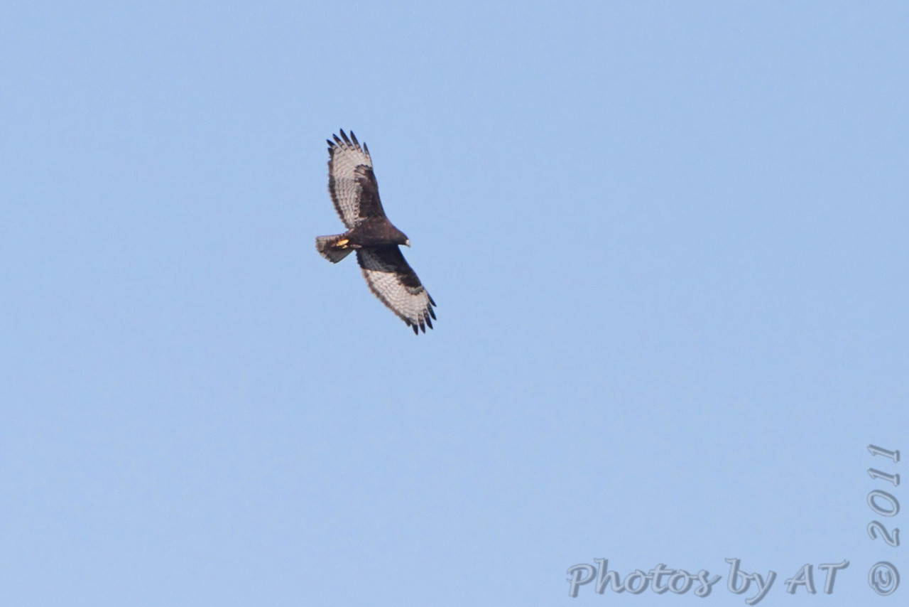Red-tailed Hawk (Western - Dark-morph) <br /> Natural Bridge Road <br /> just west of Fee Fee. <br /> Bridgeton, Mo.