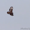 Red-tailed Hawk (Western - Dark-morph) <br /> Natural Bridge Road <br /> just west of Fee Fee. <br /> Bridgeton, Mo.