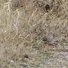 "Common Ground-Dove <br> *** 8th Missouri record *** <br> Blue Grosbeak Trail <br> Weldon Spring Conservation Area <br><br><span class=""noShowSmart""> <a href=""/MyKeywords/Bird-Videos/n-gF9bt/i-7NL3hFJ/A""> <span style=""color:yellow"">Click here to open video in lightbox/full screen</span></a> </span>  <span class=""noShowGallery""> <a href=""/Birds/Birding-2011-November/2011-11-26-Weldon-Spring-CA/i-7NL3hFJ/A""> <span style=""color:yellow"">Click here to open video in lightbox/full screen</span></a> </span>"