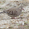 Common Ground-Dove <br /> *** 8th Missouri record *** <br /> Blue Grosbeak Trail <br /> Weldon Spring Conservation Area