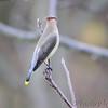Cedar Waxwing  <br /> Blue Grosbeak Trail <br /> Weldon Spring Conservation Area