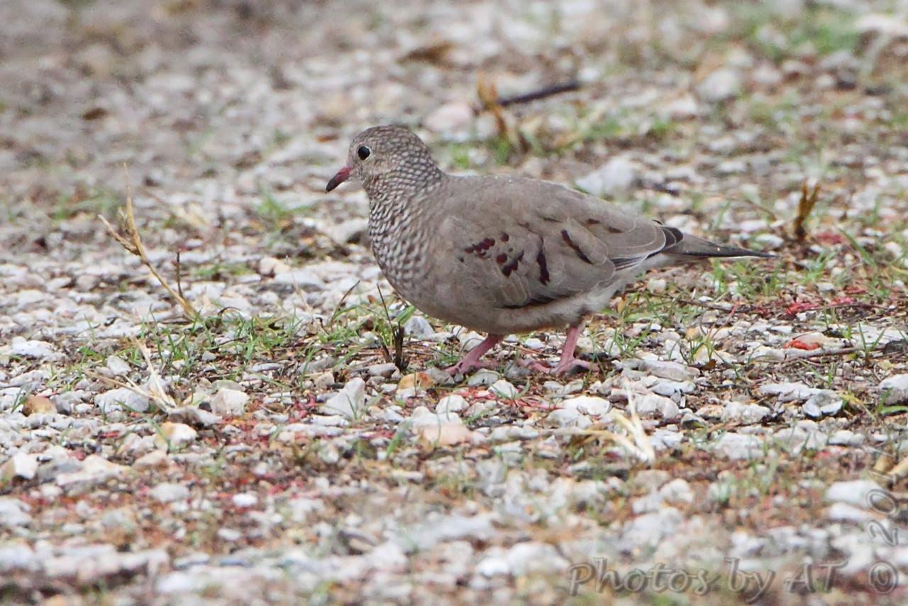 Common Ground-Dove <br /> (8th Missouri record)<br /> Blue Grosbeak Trail <br /> Weldon Spring Conservation Area