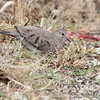 Common Ground-Dove <br /> (8th Missouri record)<br /> Blue Grosbeak Trail <br /> Weldon Spring Conservation Area