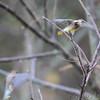 Cedar Waxwings  <br /> Blue Grosbeak Trail <br /> Weldon Spring Conservation Area