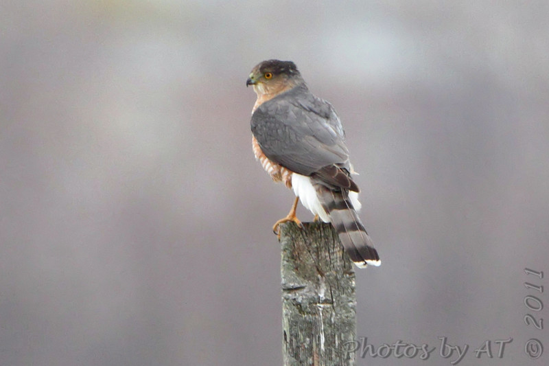 Cooper's hawk <br /> Riverlands Migratory Bird Sanctuary