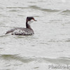 Horned Grebe <br /> Teal Pond <br /> Riverlands Migratory Bird Sanctuary