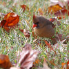 Northern Cardinal <br /> Bridgeton, Mo. <br /> 11/04/11