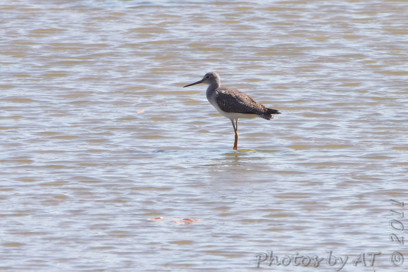 Greater Yellowlegs <br /> B K Leach Conservation Area