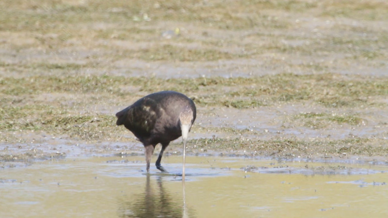 """Dark Ibis sp.  <br> B K Leach Conservation Area  <br><br><span class=""""noShowSmart""""> <a href=""""/MyKeywords/Bird-Videos/n-gF9bt/i-HRSt6xw/A""""> <span style=""""color:yellow"""">Click here to open video in lightbox/full screen</span></a> <br><br></span>  <span class=""""noShowGallery""""> <a href=""""/Birds/Birding-2011-October/2011-10-08-BK-Leach/i-HRSt6xw/A""""> <span style=""""color:yellow"""">Click here to open video in lightbox/full screen</span></a> </span>"""