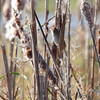 Henslow's Sparrow <br /> B K Leach Conservation Area