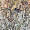 Swamp Sparrow <br /> B K Leach Conservation Area