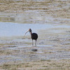 "Dark Ibis sp.  <br> Dark Ibis sp.  <br> B K Leach Conservation Area  <br><br><span class=""noShowSmart""> <a href=""/MyKeywords/Bird-Videos/n-gF9bt/i-kQgzhBd/A""> <span style=""color:yellow"">Click here to open video in lightbox/full screen</span></a> <br><br></span>  <span class=""noShowGallery""> <a href=""/Birds/Birding-2011-October/2011-10-08-BK-Leach/i-kQgzhBd/A""> <span style=""color:yellow"">Click here to open video in lightbox/full screen</span></a> </span>"