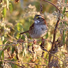 White-throated Sparrow <br /> B K Leach Conservation Area