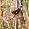 Marsh Wren <br /> B K Leach Conservation Area
