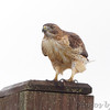 Red-tailed Hawk <br /> Confluence Point State Park