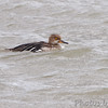 Hooded Merganser <br /> Ellis Bay <br /> Riverlands Migratory Bird Sanctuary