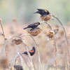 Red-winged Blackbirds <br /> Intersection of Red School Road and <br /> Confluence Point State Park Road