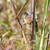 Marsh Wren <br /> Riverlands Migratory Bird Sanctuary