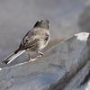 Dark-eyed Junco <br /> Teal Pond parking lot <br /> Riverlands Migratory Bird Sanctuary