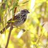 Song Sparrow <br /> Riverlands Migratory Bird Sanctuary