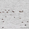 Northern Shoveler, Horned Grebe and Ruddy Ducks <br /> Ellis Bay <br /> Riverlands Migratory Bird Sanctuary
