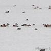 Redhead and Ruddy Ducks <br /> Ellis Bay <br /> Riverlands Migratory Bird Sanctuary