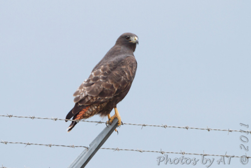Red-tailed Hawk (Western - Dark-morph) <br /> On airport fence along Natural Bridge Road <br /> just west of Fee Fee. <br /> Bridgeton, Mo.