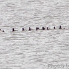 Lesser Scaup <br /> Ellis Bay <br /> Riverlands Migratory Bird Sanctuary