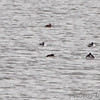 Horned Grebe and Ruddy Duck <br /> Ellis Bay <br /> Riverlands Migratory Bird Sanctuary