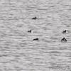 Horned Grebe and Ruddy Duck <br /> Ellis Bay <br /> Riverlands Migratory Bird Sanctuary