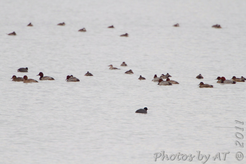 Redhead <br /> Ellis Bay <br /> Riverlands Migratory Bird Sanctuary