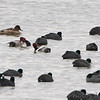 Redheads and American Coot <br /> Ellis Bay <br /> Riverlands Migratory Bird Sanctuary
