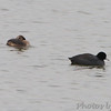 Pied-billed Grebe and American Coot <br /> Ellis Bay <br /> Riverlands Migratory Bird Sanctuary