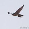 Peregrine Falcon <br /> Riverlands Migratory Bird Sanctuary