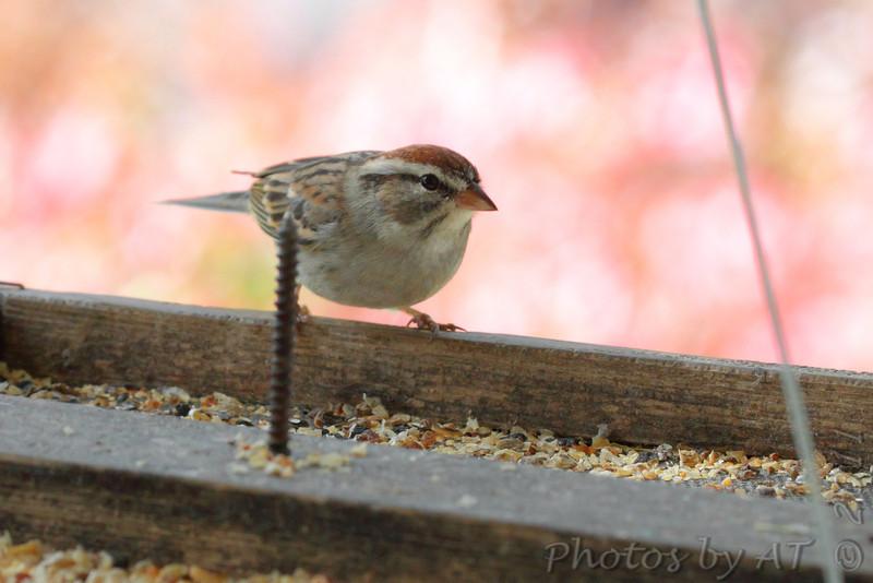 Chipping Sparrow <br /> Bridgeton, Mo. <br /> 10/28/11