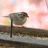 Chipping Sparrow <br /> Bridgeton, Mo. <br /> 10/28/11