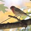 House Finch <br /> Bridgeton, Mo. <br /> 10/28/11