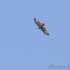 Red-tailed Hawk <br /> Bridgeton, Mo. <br /> 10/23/11