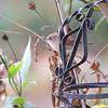 House Wren <br /> Bridgeton, Mo. <br /> 10/27/11
