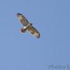 Red-tailed Hawk <br /> Bridgeton, Mo. <br /> 10/23/11