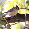 Tufted Titmouse <br /> Bridgeton, Mo. <br /> 10/28/11