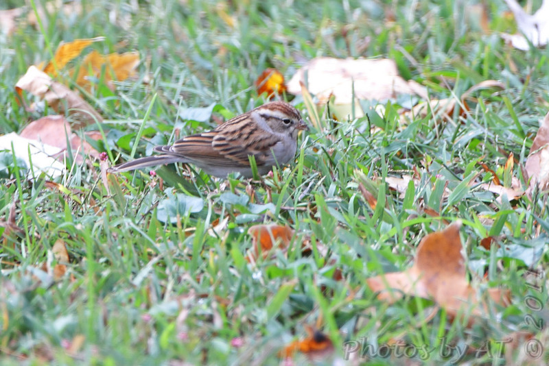 Chipping Sparrow <br /> Bridgeton, Mo. <br /> 10/27/11