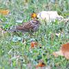 Chipping Sparrow <br /> Bridgeton, Mo. <br /> 10/27/11