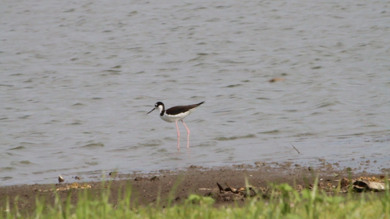 """Black-necked Stilt <br> Pipeline Pool <br> Confluence Point State Park  <br><br><span class=""""noShowSmart""""> <a href=""""/MyKeywords/Bird-Videos/n-gF9bt/i-Pv6zwzc/A""""> <span style=""""color:yellow"""">Click here to open video in lightbox/full screen</span></a> </span>  <span class=""""noShowGallery""""> <a href=""""/Birds/Birding-2011-September/2011-09-04-RMBS-CPSP/i-Pv6zwzc/A""""> <span style=""""color:yellow"""">Click here to open video in lightbox/full screen</span></a> </span>"""